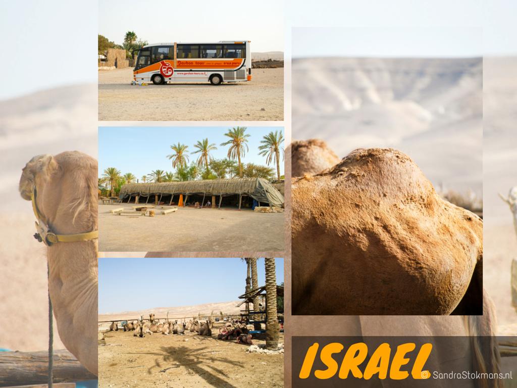 Israel, Bedouin kamp, woestijn van Judea, Judean Desert, kameel, camel, dromedary, dromedaris, animal photography, dieren fotografie