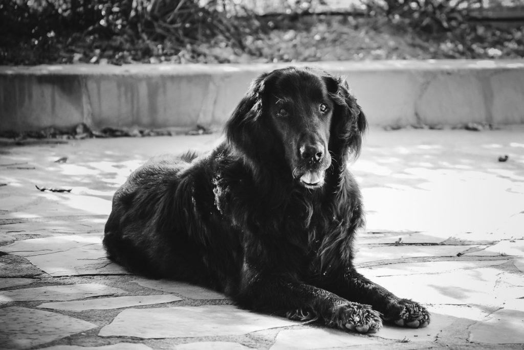 Dag uit het leven van onze huisdieren-Xesco-flatcoated retriever-Sandra Stokmans-DSC_0451